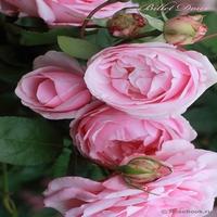 Саженцы роз  Интернетмагазин саженцев роз