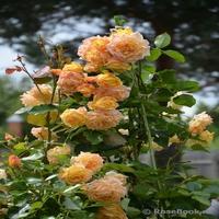 Розы Вятки  Розы почвопокровные